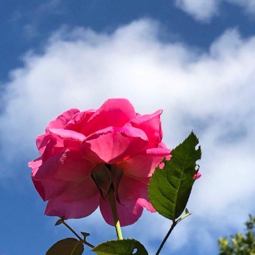 真夏のバラ!