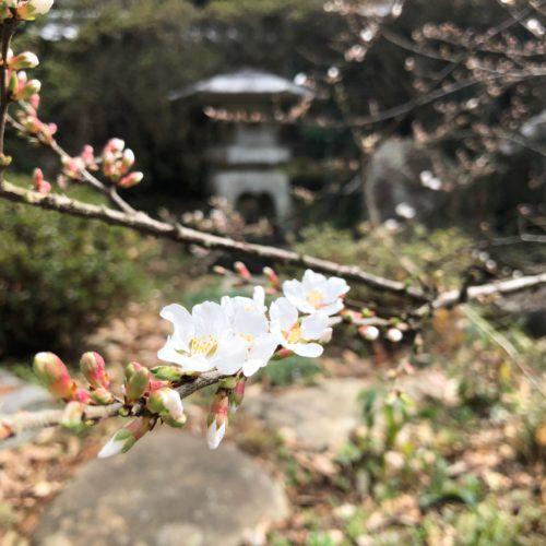 山桜桃の花が開花しました!!