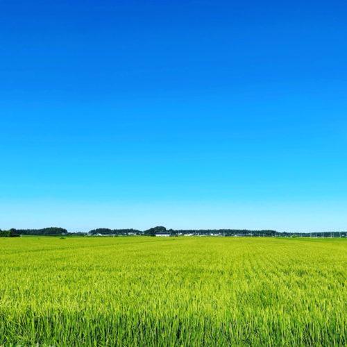 米の生育も順調です。